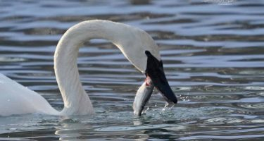 Tundra Swan having a snack